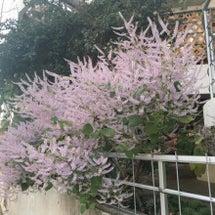 近所に咲いてる植物シ…