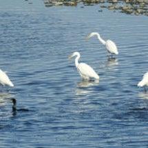 雪の河原の黒い鳥と白…