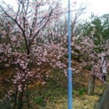 大寒桜咲いています!