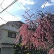 満開の枝垂れ梅と波板…