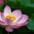 フィギュア沼に咲く蓮…