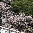 今年の桜は早いらしい