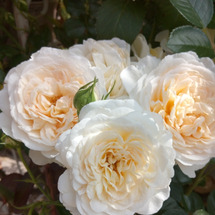 ※バラ ホワイトの誘…