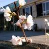 幻の桜クメノサクラの画像