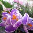 斑入りの紫クロッカス…