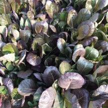 赤サラダ小松菜の畑