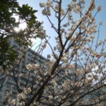 桜が咲きました 東陽…