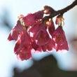 先がけの桜