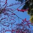 京都で梅を見てきまし…