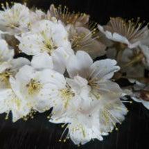 サクランボの花まで咲…