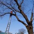 桜の樹の大手術