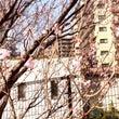 桜が咲き始めてました…