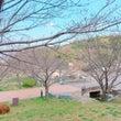 北九州 桜の開花状況…