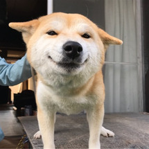 柴犬荘日記~ペロたん…