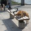 香香(しゃんしゃん)の代わりに愛くるしい犬の画像