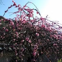 満開の枝垂れ梅!