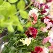 パンジーと豆の花の春…