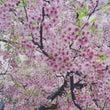 美術館でお花見 桜 …