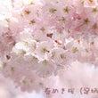 満開の「春めき桜」を…