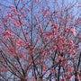 今年も河津桜