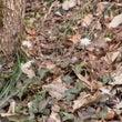 ユキワリイチゲも咲い…