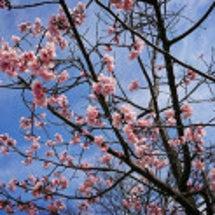 桜だーーーっ