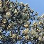 白木蓮の季節