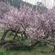 今年も梅を見に藤川天…