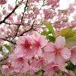 河津桜とシロウオラン…
