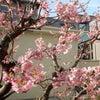 """【春のお便りは気分も上々""""桜""""から!】~""""さが桜マラソン2018""""は18日ファイト!編の画像"""
