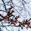 桜の花が~\(^^)…