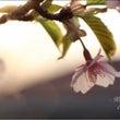 桜-其の弐-☆