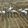 安曇野の白鳥たち 1…