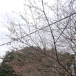 桜開花(3/16)
