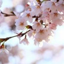 桜の花といえば...