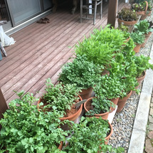 我が家の庭の葉野菜と…