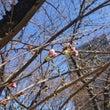 桜が咲きそう(*´ω…