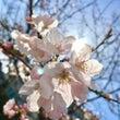 開花宣言❀.° 春で…