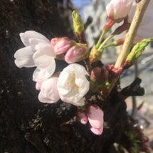 中目黒・桜開花状況。