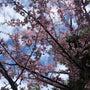 修善寺寒桜は今が見頃…