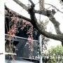 旭屋の桜開花【しだれ…