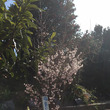 福島の桜が咲きました