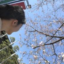 桜の開花宣言! / …