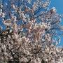 【号外】桜が咲いてお…