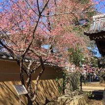 見頃の桜、プリンセス…
