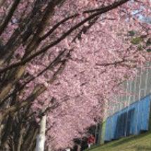 暗雲の日本を桜の花び…