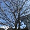 豊田市 シロアリ予防消毒 桜の開花も始まってきました。の画像