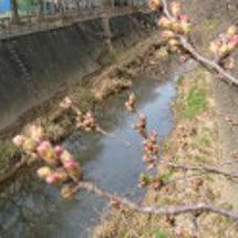 稲城の桜は…