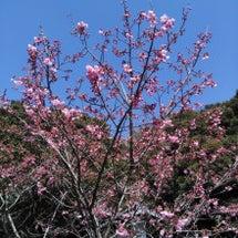 本山の桜は?