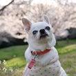 満開の春めき桜と水玉…